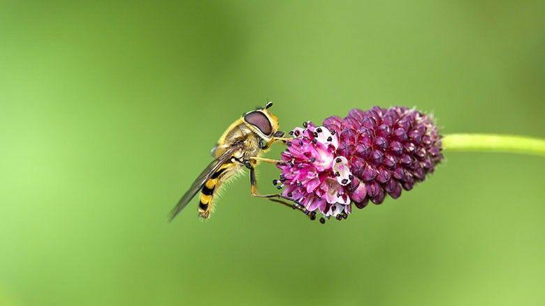 Die Schwebfliege (Syrphidae)